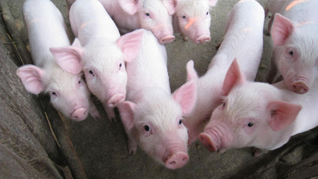 Strengthening the pork value chain to increase vulnerable farmer's income